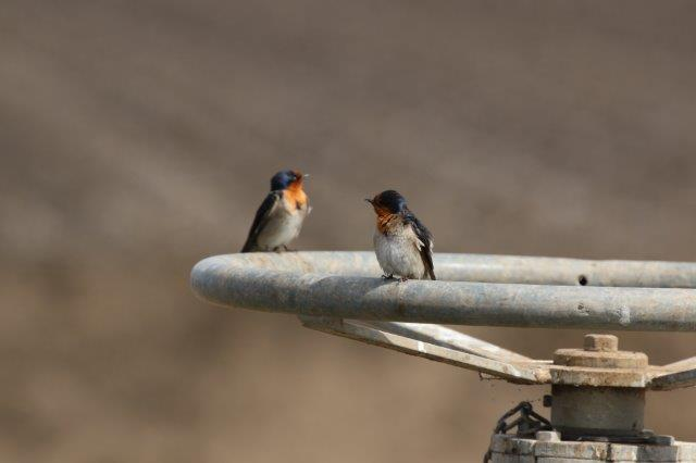Swallow1
