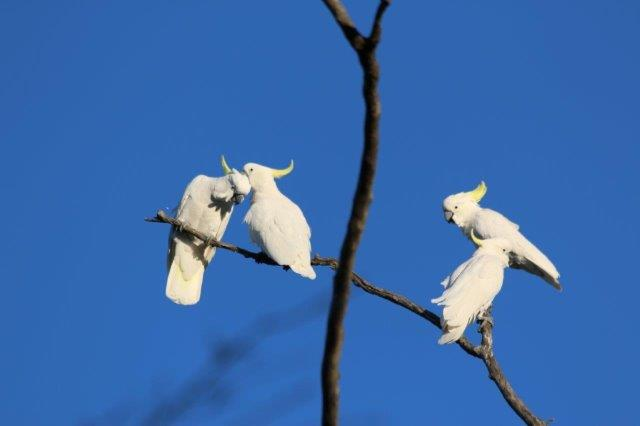 WhiteCockatoo1