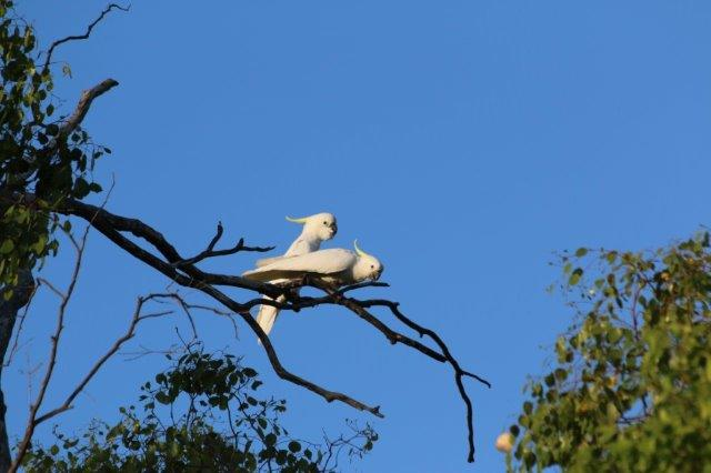 WhiteCockatoo3