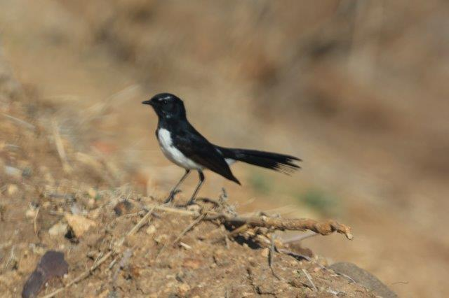 WillieWagTail5